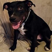 Pit Bull Terrier Mix Dog for adoption in White Settlement, Texas - Tank