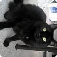 Adopt A Pet :: Shade - Vancouver, BC