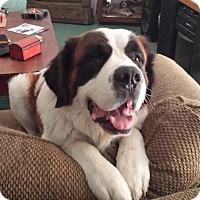 Adopt A Pet :: Brutus - Bellflower, CA