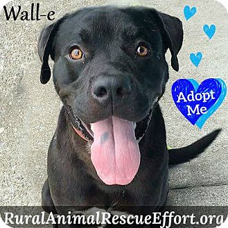 Rottweiler/Labrador Retriever Mix Dog for adoption in Columbia, Tennessee - Wall-e