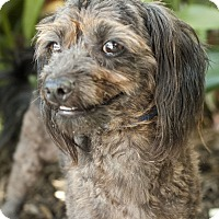 Adopt A Pet :: Boomer - Encino, CA