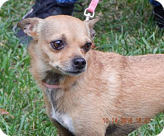 Chihuahua/Chinese Crested Mix Dog for adoption in SUSSEX, New Jersey - Sophie(8 lb) Perfect Lil' Girl