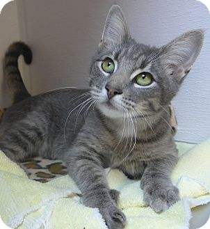 Domestic Shorthair Cat for adoption in Manning, South Carolina - Trinity
