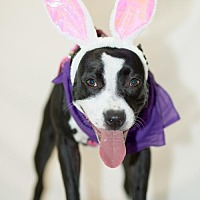 American Staffordshire Terrier Mix Dog for adoption in Little Rock, Arkansas - Maize