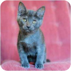 Russian Blue Kitten for adoption in Ft. Lauderdale, Florida - Paul