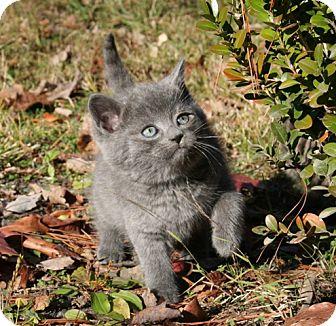 American Shorthair Kitten for adoption in Spring Valley, New York - Balu