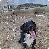 Adopt A Pet :: Duke - Littlerock, CA
