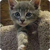 Adopt A Pet :: Kitten 3 - Davis, CA