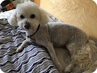 Poodle (Miniature) Dog for adoption in Centreville, Virginia - Happy