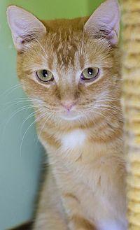 Manx Cat for adoption in Auburn, California - Carla