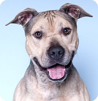 American Pit Bull Terrier/American Staffordshire Terrier Mix Dog for adoption in Chicago, Illinois - Bentley