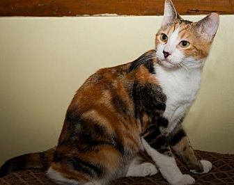 Domestic Shorthair Kitten for adoption in Plant City, Florida - Mary