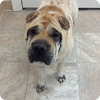 Shar Pei Dog for adoption in Urbana, Ohio - Opie