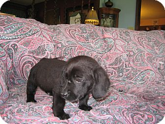 Basset Hound/Labrador Retriever Mix Puppy for adoption in Greenville, Rhode Island - Mr.Shorty Stubs