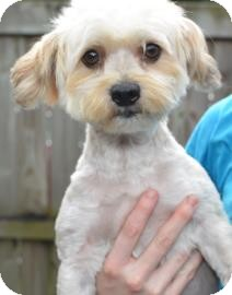 Maltese/Poodle (Miniature) Mix Dog for adoption in Gainesville, Florida - Milo