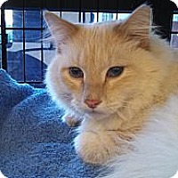 Adopt A Pet :: Gus - Scottsdale, AZ