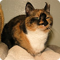 Calico Cat for adoption in Milford, Massachusetts - Snookie