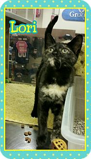 Domestic Shorthair Kitten for adoption in Atco, New Jersey - Lori