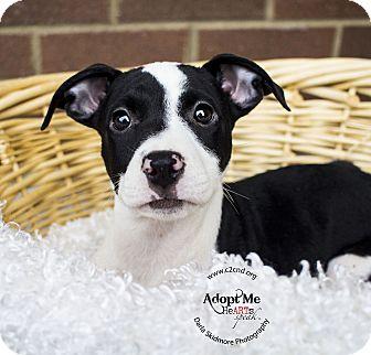 Pit Bull Terrier/Hound (Unknown Type) Mix Puppy for adoption in Mooresville, North Carolina - Jynx (Pokemon Litter)