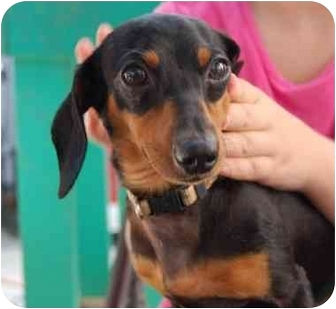 Dachshund Dog for adoption in White Plains, New York - Bernie