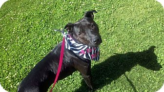 American Pit Bull Terrier/Labrador Retriever Mix Dog for adoption in Bakersfield, California - Annie