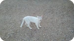 Domestic Shorthair Cat for adoption in Tempe, Arizona - Gandalf