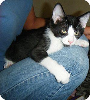 Domestic Shorthair Kitten for adoption in Fairborn, Ohio - Baby Charles-Diamond Litter