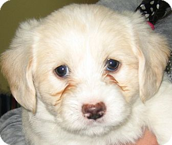 Shih Tzu/Poodle (Miniature) Mix Puppy for adoption in Thousand Oaks, California - Simba