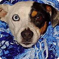 Adopt A Pet :: Peekaboo the Terrier Girl - Ocala, FL