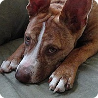 Adopt A Pet :: Cinnamon - Reisterstown, MD