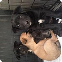 Adopt A Pet :: Puppies! - Phoenix, AZ