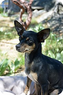 Chihuahua Mix Dog for adoption in Mountain Center, California - Trudy