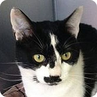 Domestic Shorthair Cat for adoption in Port Angeles, Washington - Pinky
