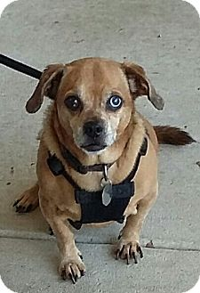 Pug/Beagle Mix Dog for adoption in Carthage, North Carolina - Kaya