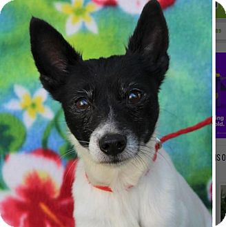 Rat Terrier Mix Dog for adoption in Red Bluff, California - VAUGHN