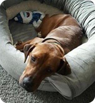 Boxer/Vizsla Mix Dog for adoption in Pompton Lakes, New Jersey - Anna