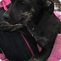 Dachshund Mix Puppy for adoption in Pottsville, Pennsylvania - Maurice