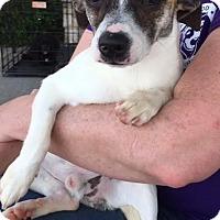 Adopt A Pet :: Dutch---COURTESY LISTING - Fort Worth, TX