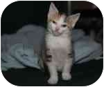Calico Kitten for adoption in Cleveland, Ohio - Baby Kitty