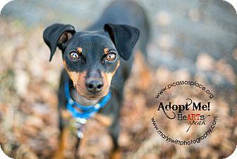 Miniature Pinscher Mix Dog for adoption in Myersville, Maryland - Crash