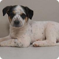 Adopt A Pet :: Sundance - Phoenix, AZ