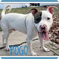 Adopt A Pet :: Pogo - Dallas, PA
