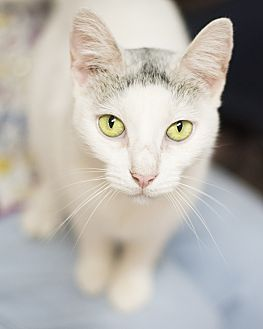 Domestic Shorthair Cat for adoption in Houston, Texas - BELLA DONNA