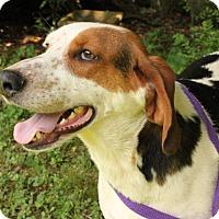 Treeing Walker Coonhound Mix Dog for adoption in Brattleboro, Vermont - Jasper