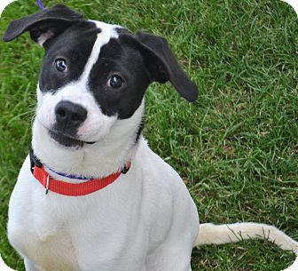 Boxer/Pit Bull Terrier Mix Dog for adoption in Fruit Heights, Utah - Stella