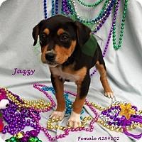 Adopt A Pet :: Jazzy - Spring, TX