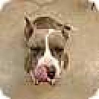 Pit Bull Terrier Dog for adoption in Foristell, Missouri - Lili