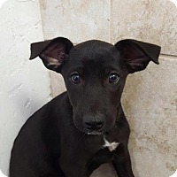 Labrador Retriever Mix Dog for adoption in Naples, Florida - Peep