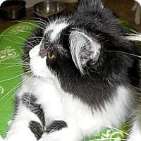 Adopt A Pet :: Zag - Seattle, WA
