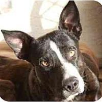 Adopt A Pet :: Zebra - Gilbert, AZ